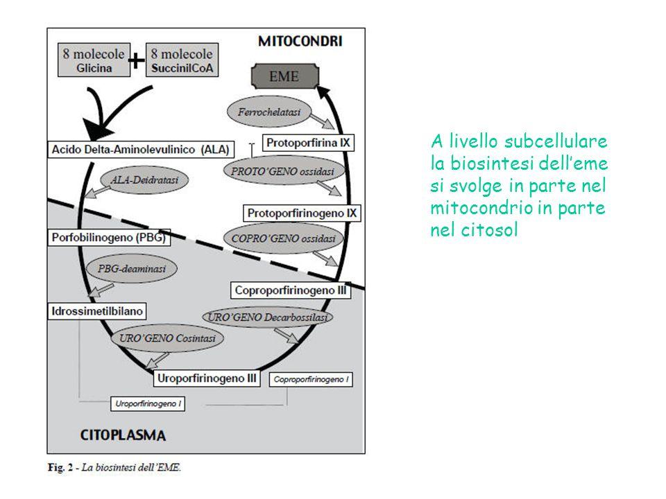 A livello subcellulare la biosintesi dell'eme si svolge in parte nel mitocondrio in parte nel citosol