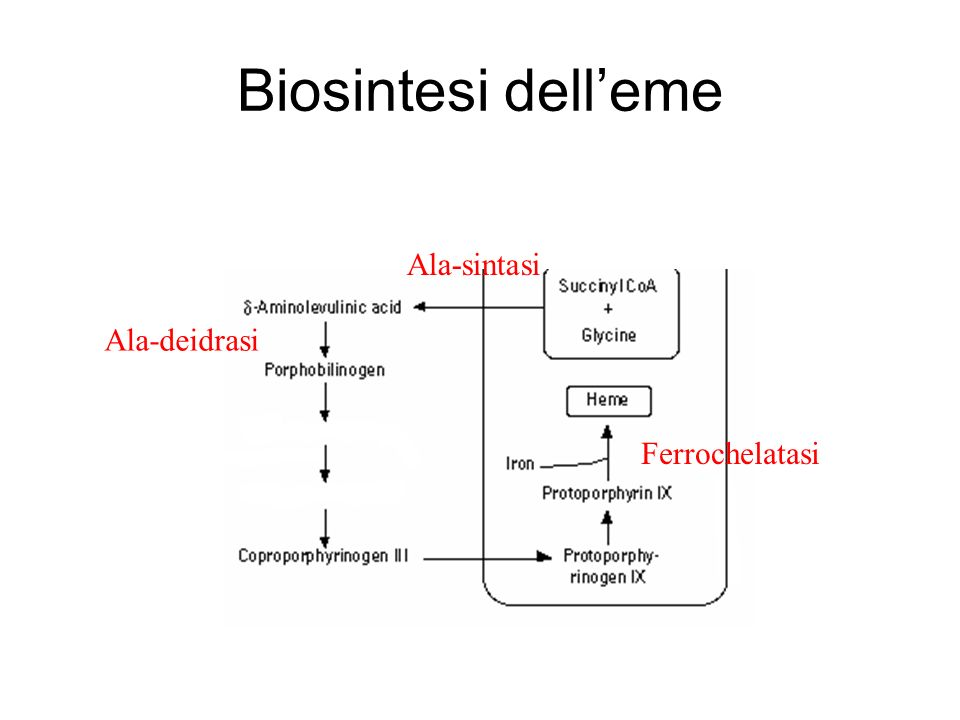 Biosintesi dell'eme Ala-sintasi Ala-deidrasi Ferrochelatasi