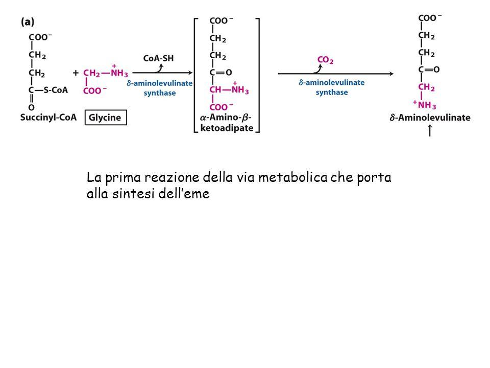 La prima reazione della via metabolica che porta alla sintesi dell'eme