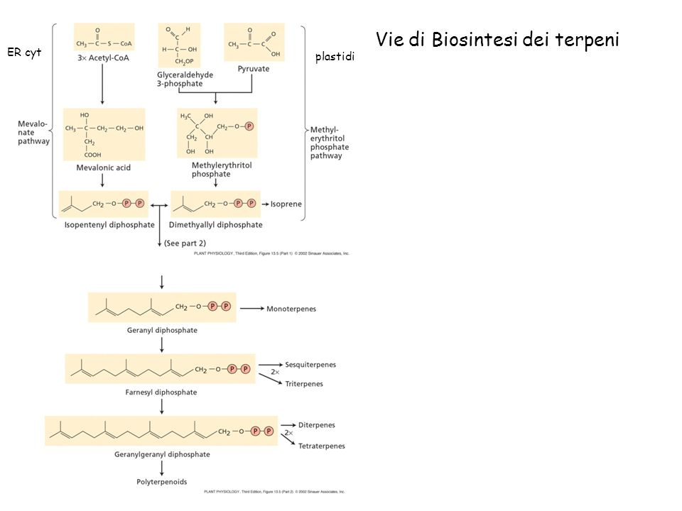 Vie di Biosintesi dei terpeni