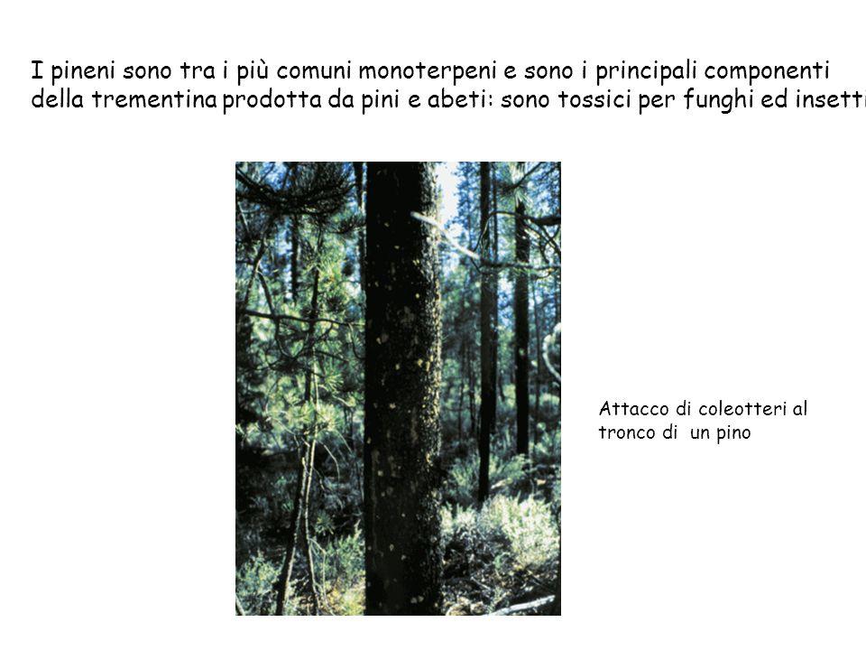 I pineni sono tra i più comuni monoterpeni e sono i principali componenti