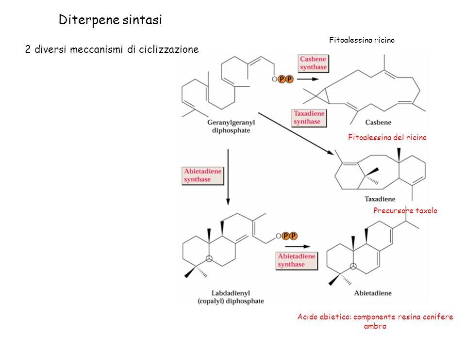 Diterpene sintasi 2 diversi meccanismi di ciclizzazione