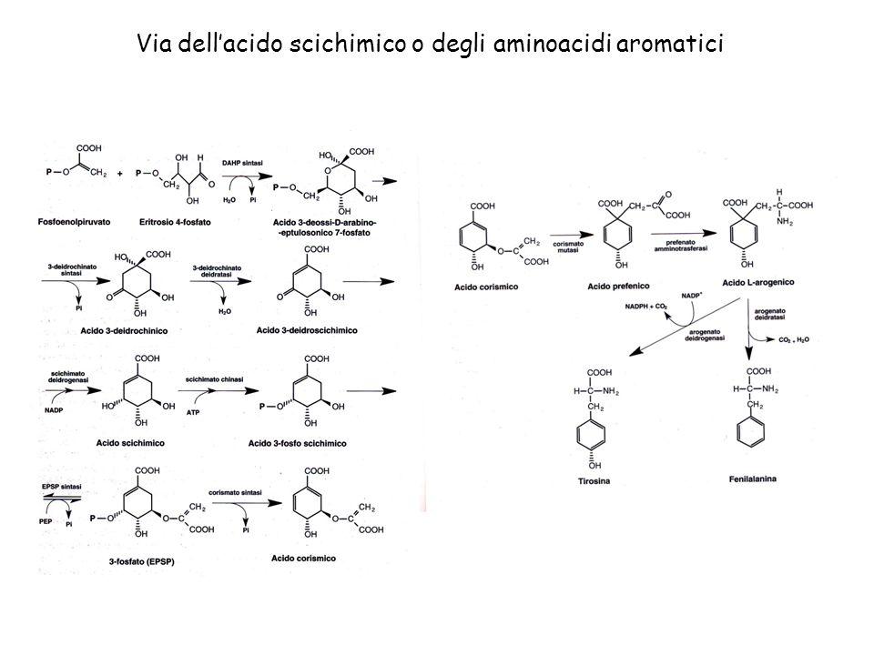 Via dell'acido scichimico o degli aminoacidi aromatici