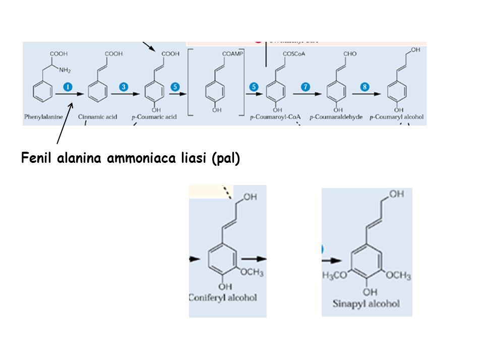 Fenil alanina ammoniaca liasi (pal)