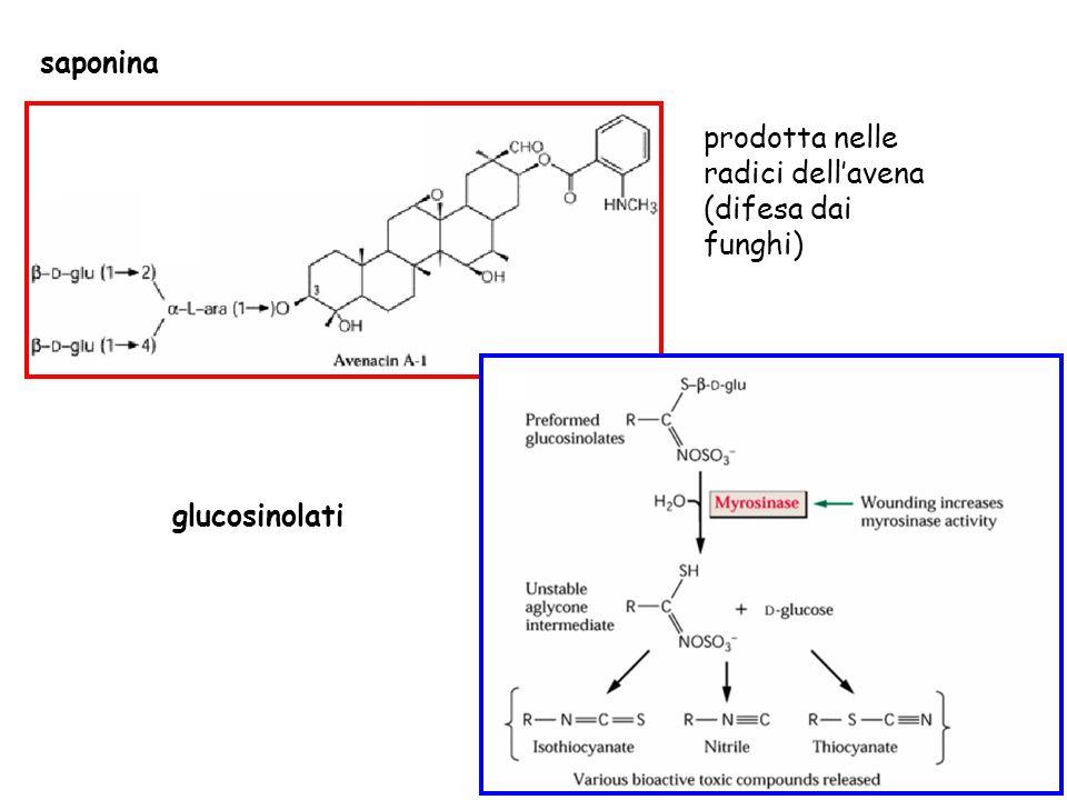 saponina prodotta nelle radici dell'avena (difesa dai funghi) glucosinolati