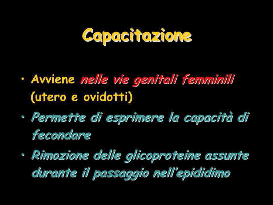 Capacitazione Avviene nelle vie genitali femminili (utero e ovidotti)