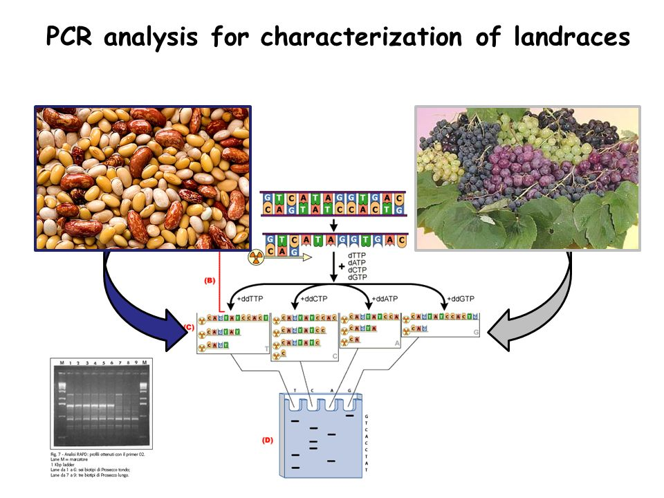 PCR analysis for characterization of landraces