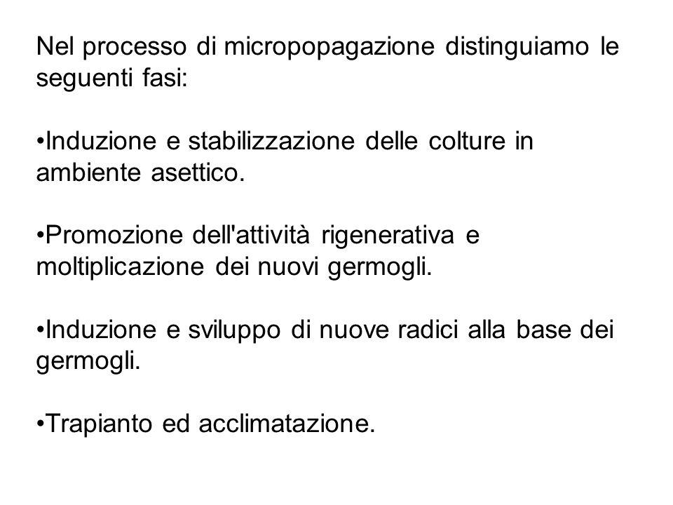 Nel processo di micropopagazione distinguiamo le seguenti fasi: