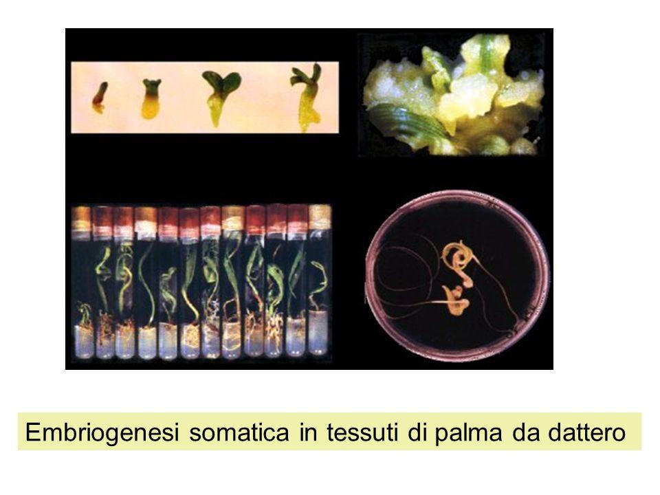 Embriogenesi somatica in tessuti di palma da dattero