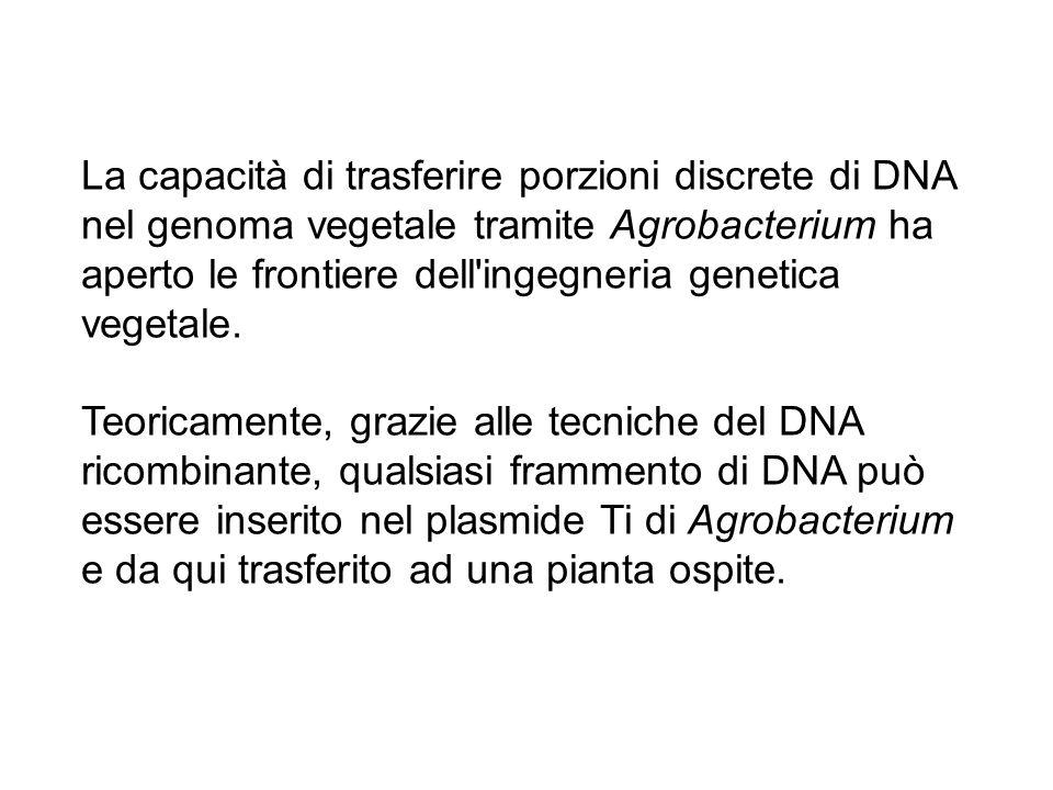 La capacità di trasferire porzioni discrete di DNA nel genoma vegetale tramite Agrobacterium ha aperto le frontiere dell ingegneria genetica vegetale.