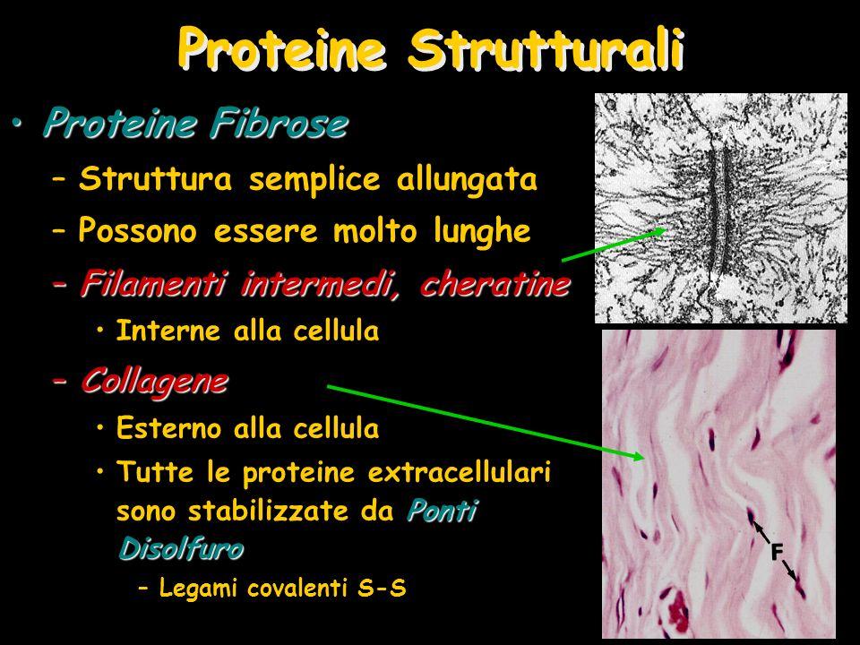 Proteine Strutturali Proteine Fibrose Struttura semplice allungata