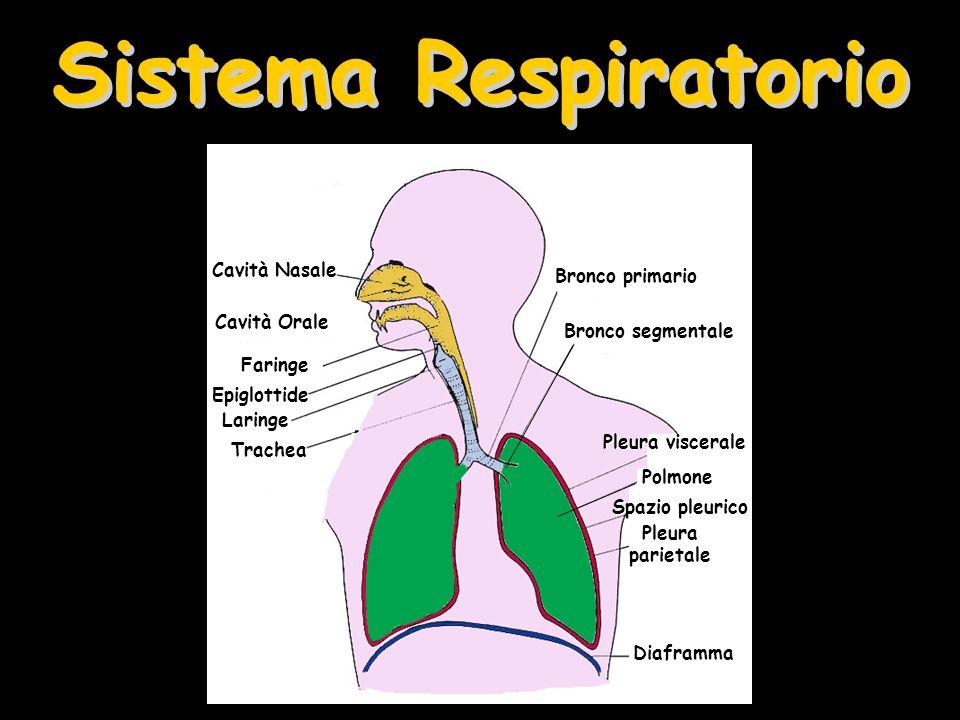 Sistema Respiratorio Cavità Nasale Bronco primario Cavità Orale