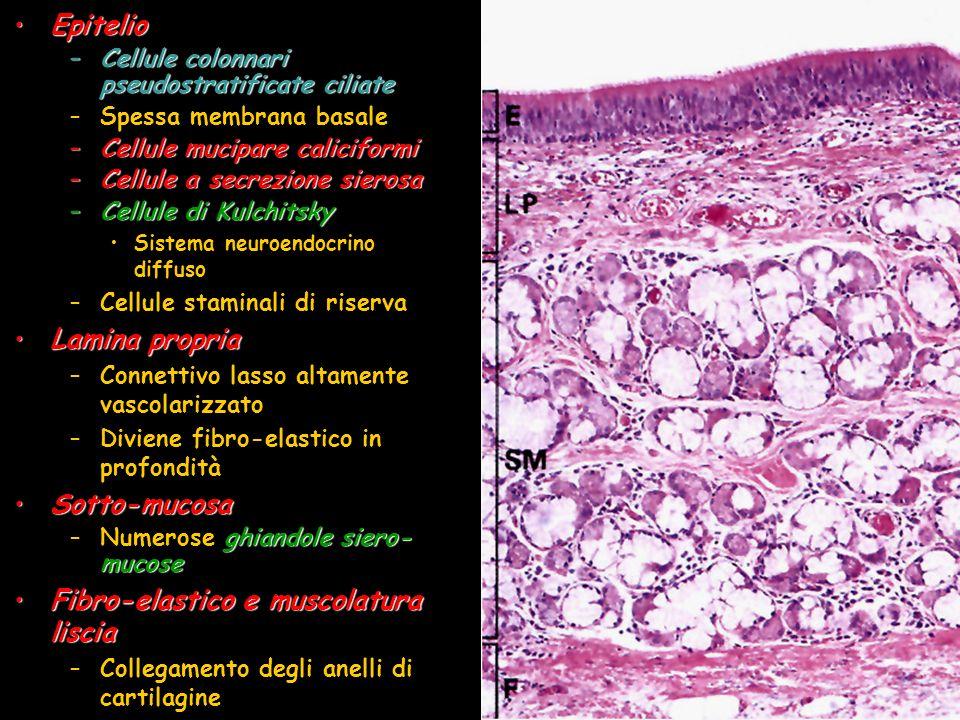 Fibro-elastico e muscolatura liscia