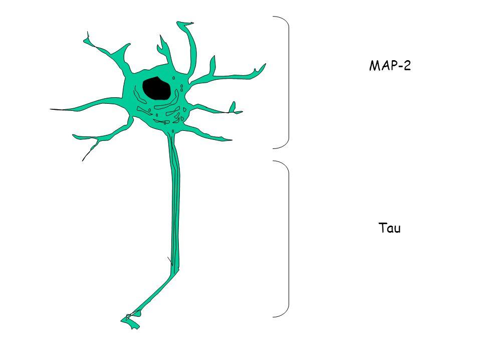 MAP-2 Tau