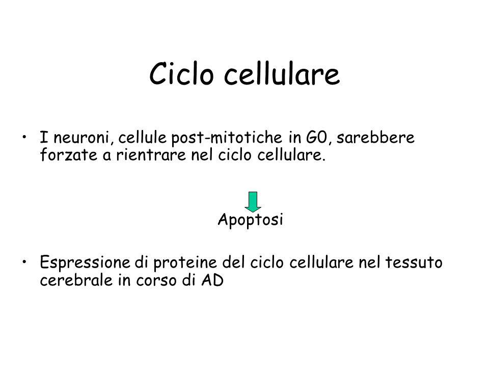 Ciclo cellulare I neuroni, cellule post-mitotiche in G0, sarebbere forzate a rientrare nel ciclo cellulare.