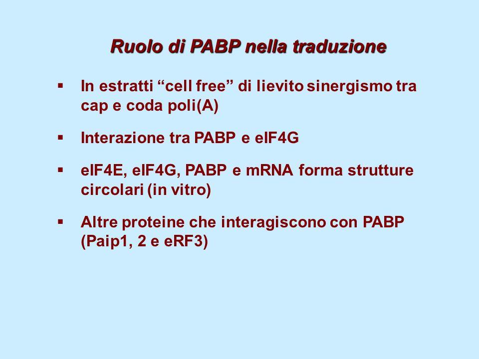 Ruolo di PABP nella traduzione