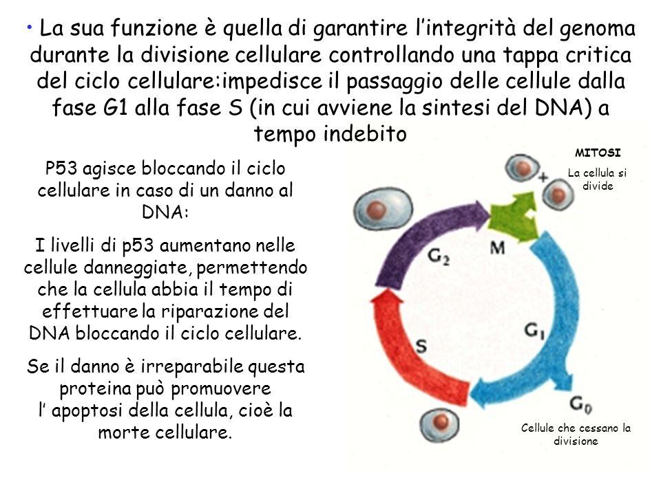 La sua funzione è quella di garantire l'integrità del genoma durante la divisione cellulare controllando una tappa critica del ciclo cellulare:impedisce il passaggio delle cellule dalla fase G1 alla fase S (in cui avviene la sintesi del DNA) a tempo indebito