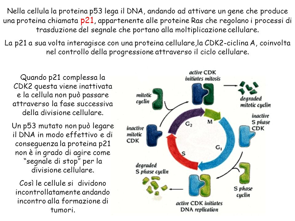 Nella cellula la proteina p53 lega il DNA, andando ad attivare un gene che produce una proteina chiamata p21, appartenente alle proteine Ras che regolano i processi di trasduzione del segnale che portano alla moltiplicazione cellulare.
