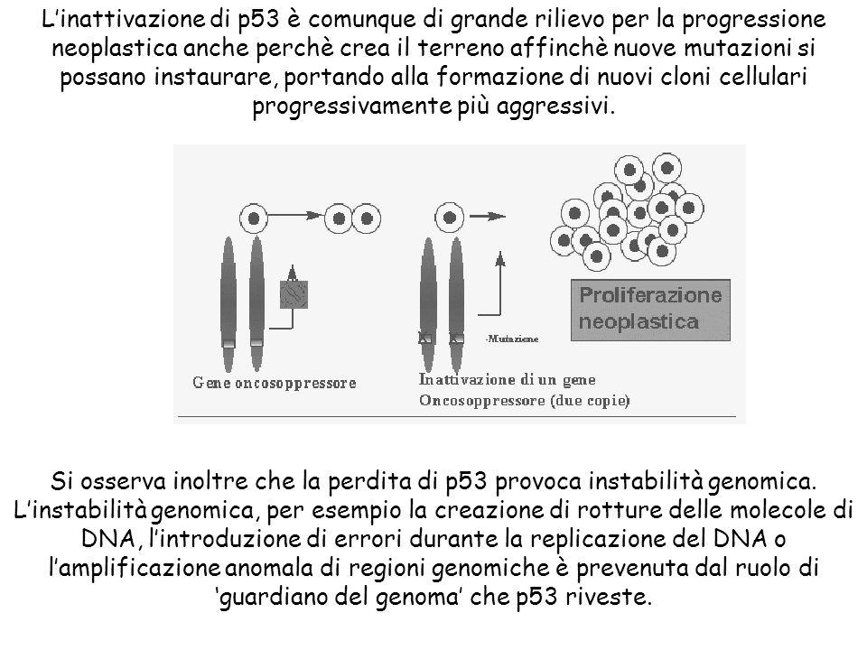 Si osserva inoltre che la perdita di p53 provoca instabilità genomica.