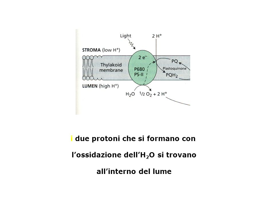 i due protoni che si formano con l'ossidazione dell'H2O si trovano