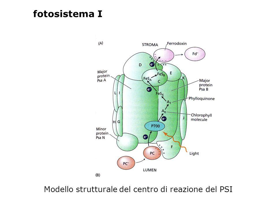 fotosistema I Modello strutturale del centro di reazione del PSI
