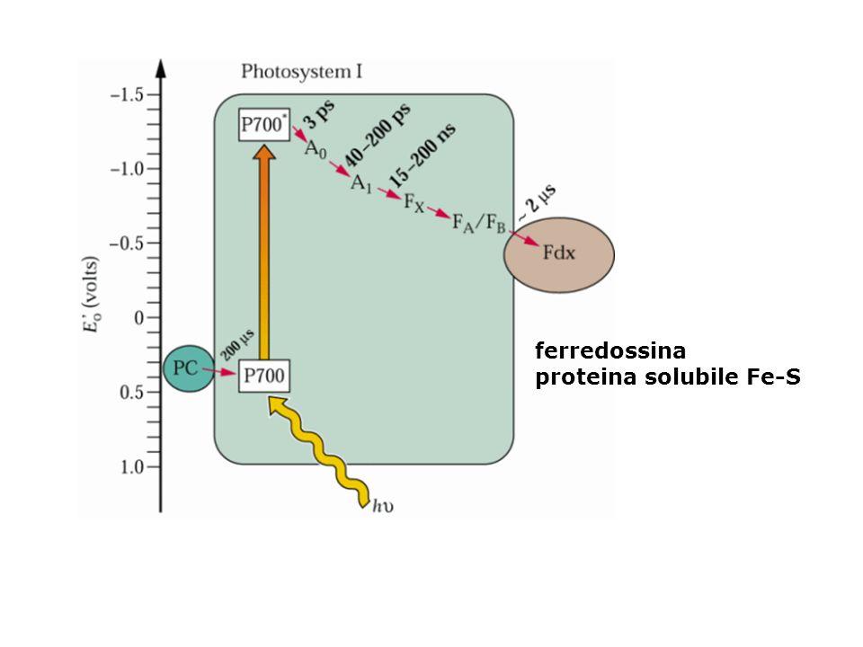 ferredossina proteina solubile Fe-S