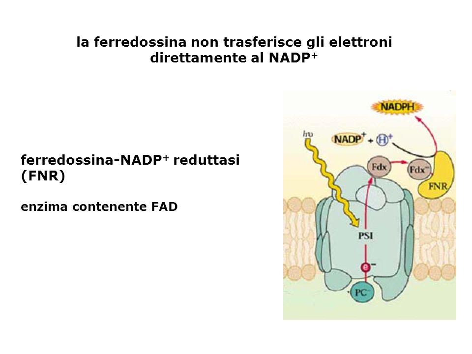 la ferredossina non trasferisce gli elettroni direttamente al NADP+