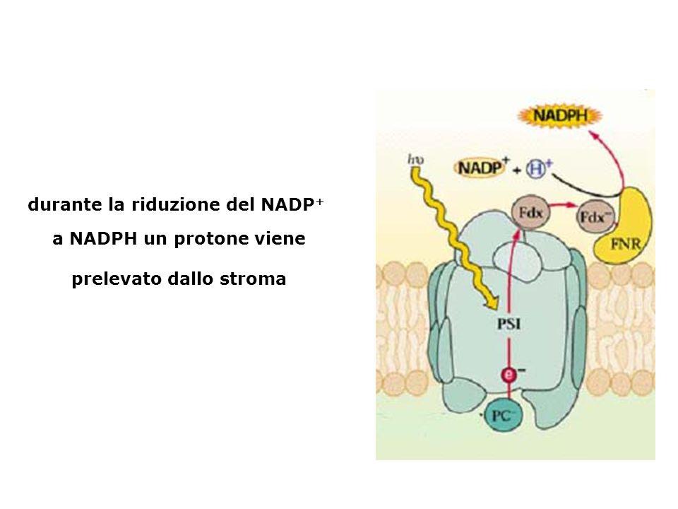 durante la riduzione del NADP+ a NADPH un protone viene