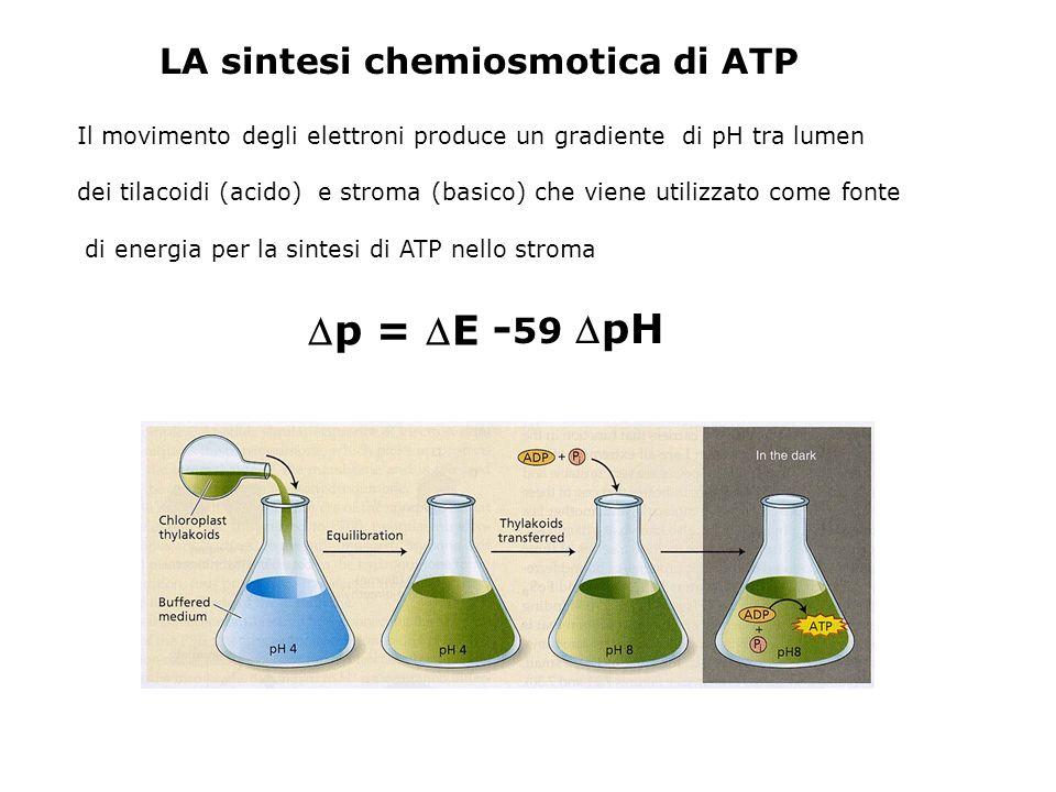 p = E -59 pH LA sintesi chemiosmotica di ATP