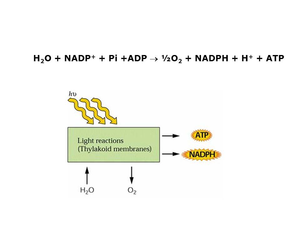 H2O + NADP+ + Pi +ADP  ½O2 + NADPH + H+ + ATP