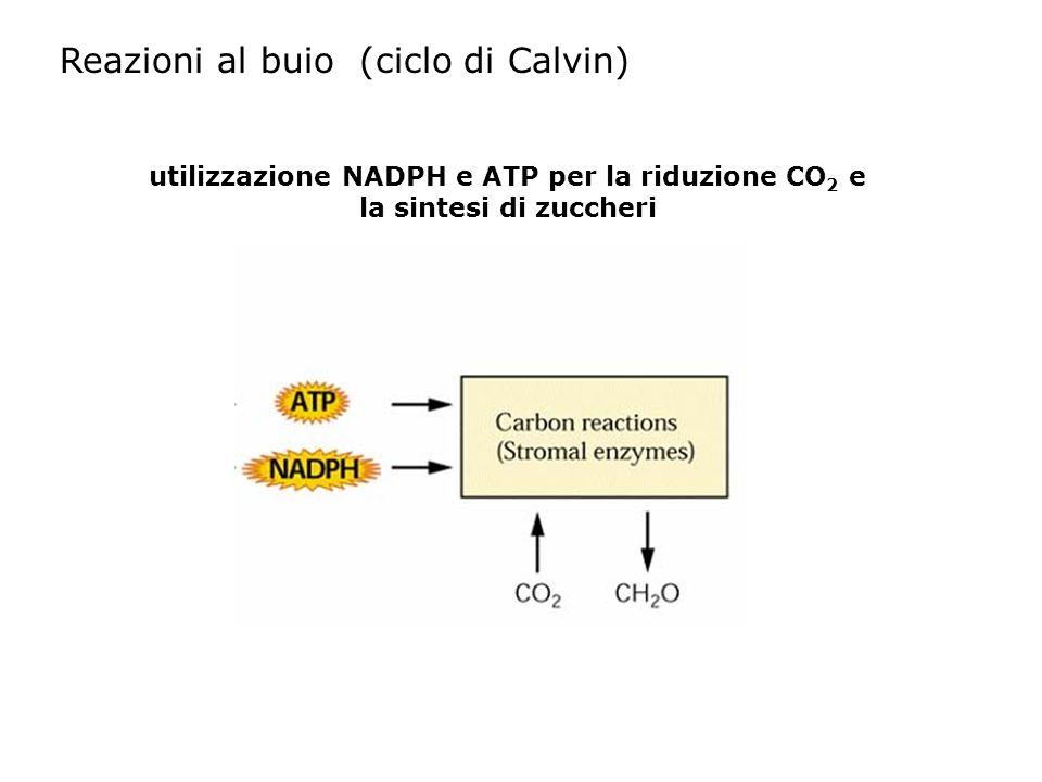 Reazioni al buio (ciclo di Calvin)