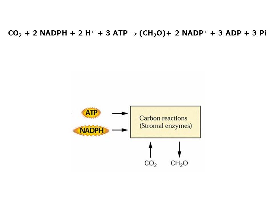 CO2 + 2 NADPH + 2 H+ + 3 ATP  (CH2O)+ 2 NADP+ + 3 ADP + 3 Pi