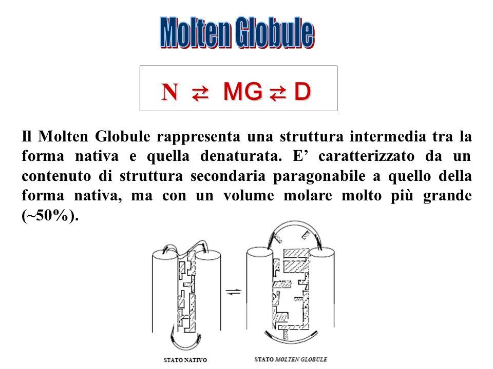 Molten Globule N ⇄ MG ⇄ D.