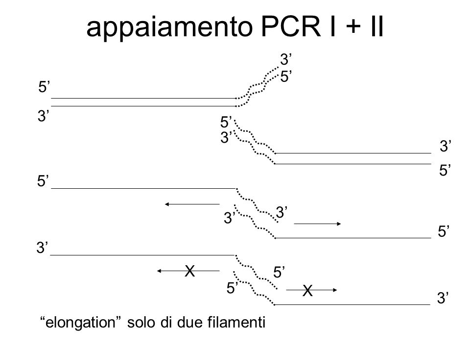 appaiamento PCR I + II 3' 5' 5' 3' 5' 3' 3' 5' 5' 3' 3' 3' X 5' 5' X