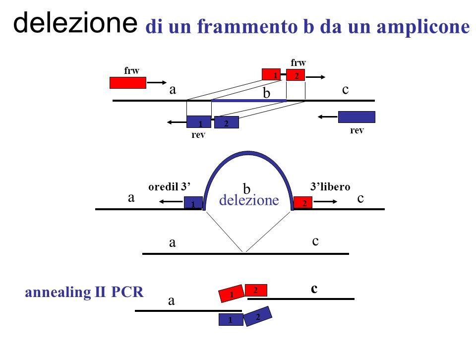 delezione di un frammento b da un amplicone a b c delezione