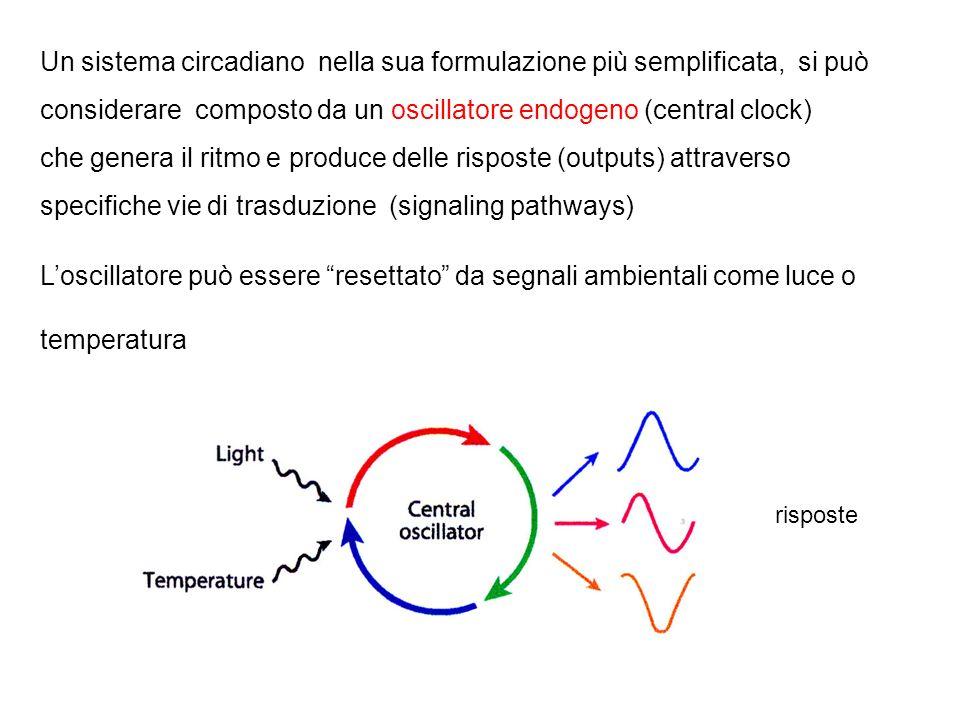 Un sistema circadiano nella sua formulazione più semplificata, si può