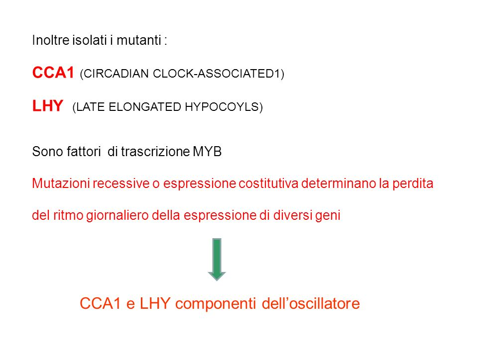 CCA1 (CIRCADIAN CLOCK-ASSOCIATED1) LHY (LATE ELONGATED HYPOCOYLS)