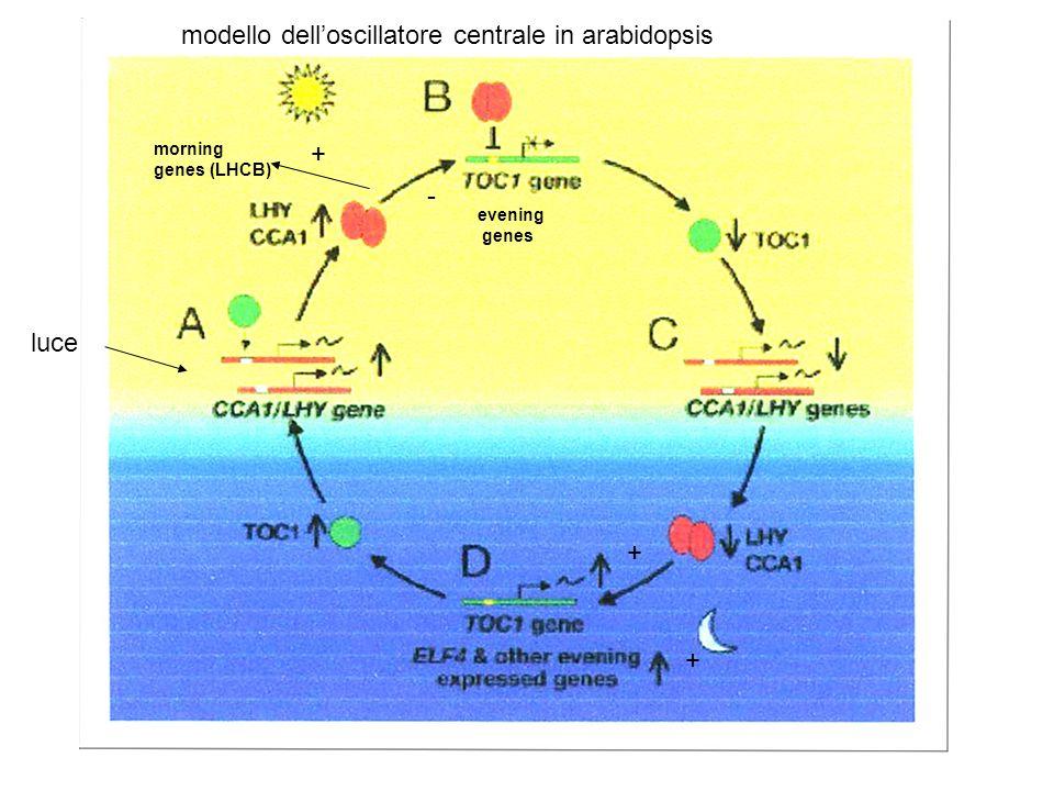 modello dell'oscillatore centrale in arabidopsis