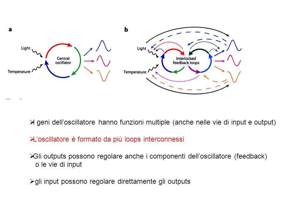 I geni dell'oscillatore hanno funzioni multiple (anche nelle vie di input e output)