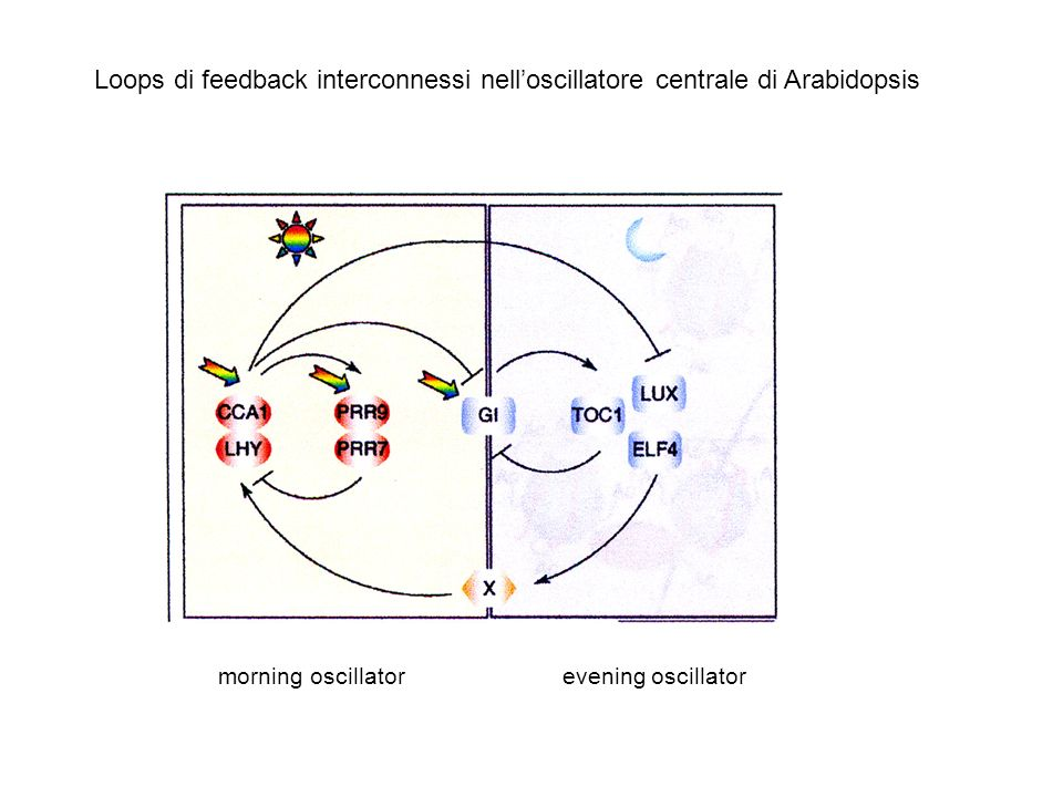 Loops di feedback interconnessi nell'oscillatore centrale di Arabidopsis