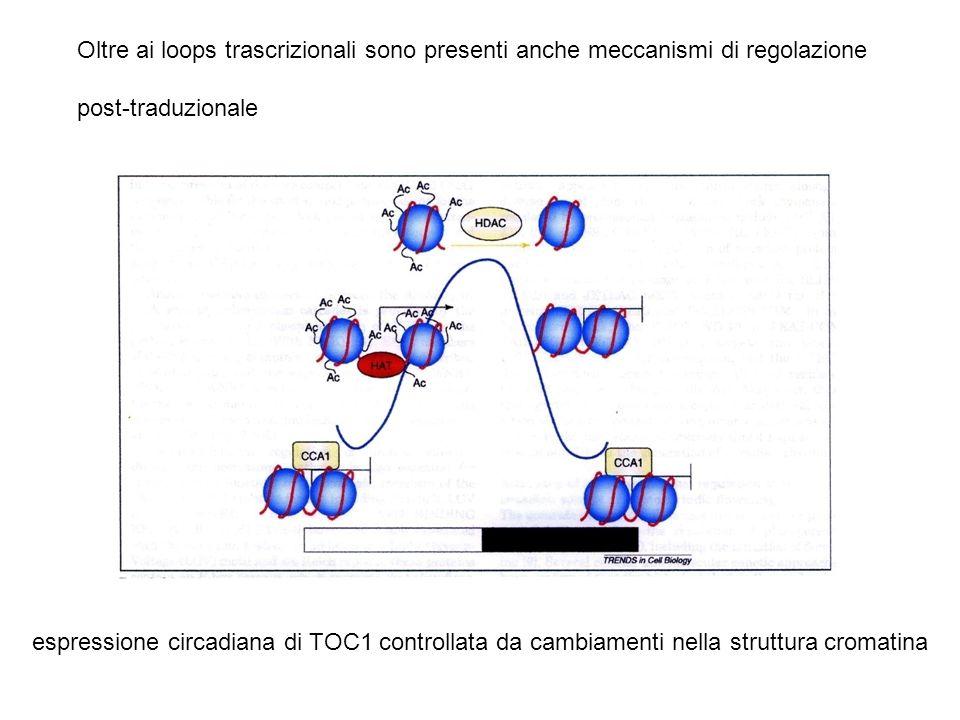 Oltre ai loops trascrizionali sono presenti anche meccanismi di regolazione
