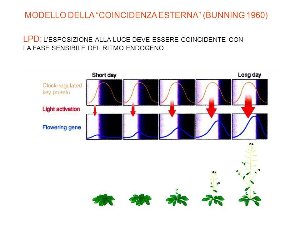 MODELLO DELLA COINCIDENZA ESTERNA (BUNNING 1960)