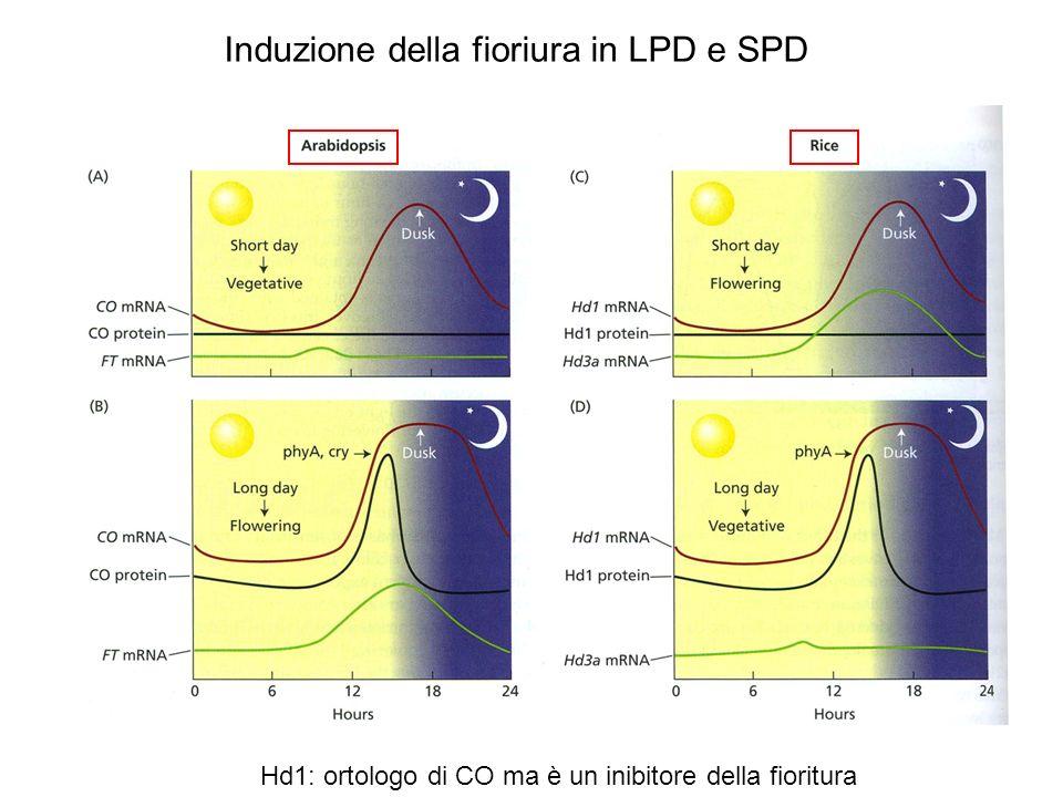 Induzione della fioriura in LPD e SPD