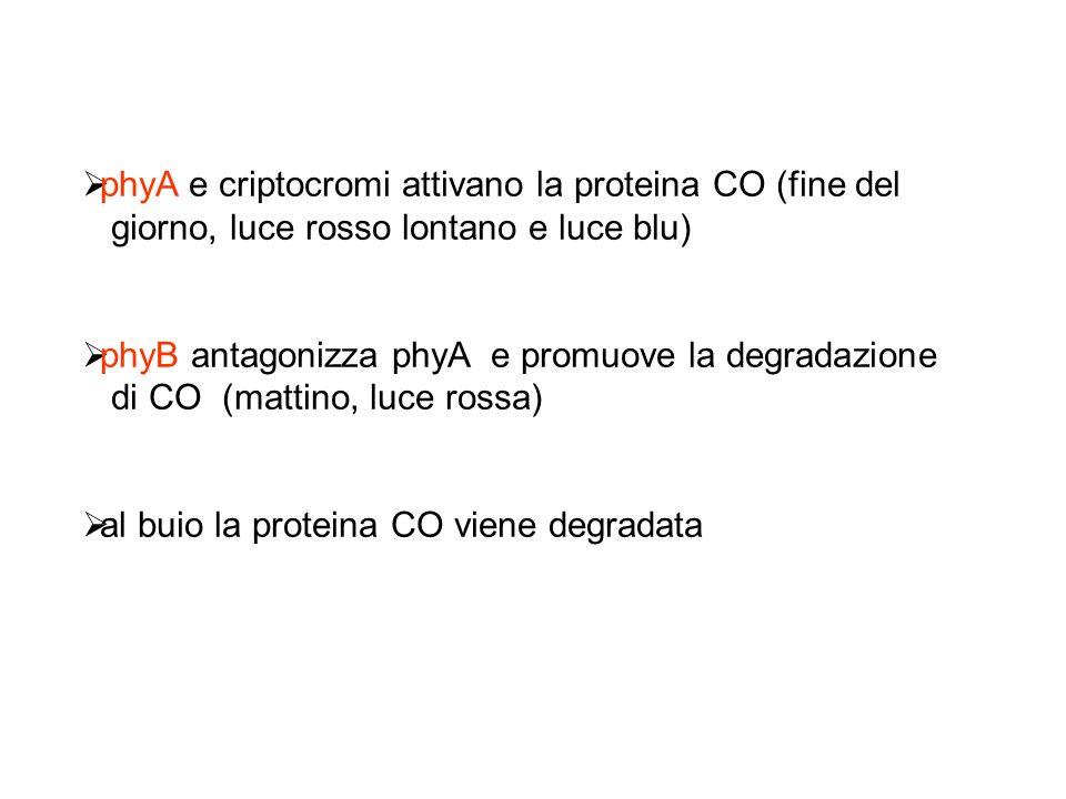 phyA e criptocromi attivano la proteina CO (fine del