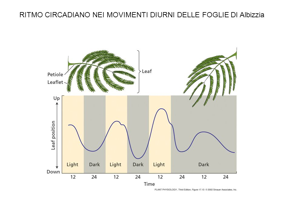 RITMO CIRCADIANO NEI MOVIMENTI DIURNI DELLE FOGLIE DI Albizzia