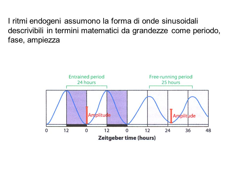 I ritmi endogeni assumono la forma di onde sinusoidali