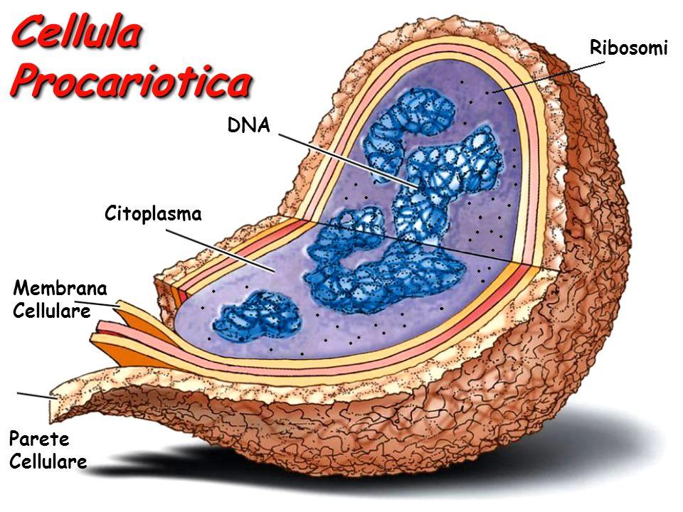 Cellula Procariotica Ribosomi DNA Citoplasma Membrana Cellulare