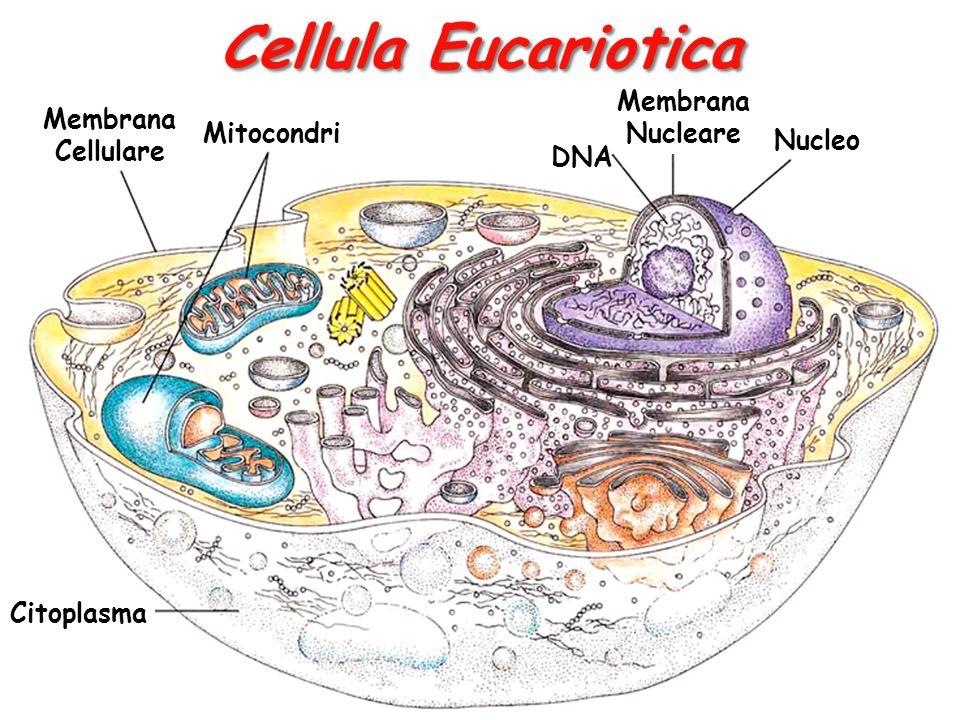 Cellula Eucariotica Membrana Nucleare Membrana Cellulare Mitocondri