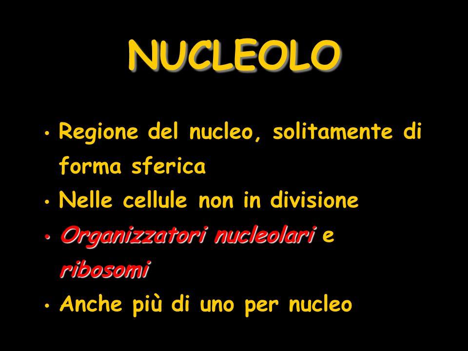 NUCLEOLO Regione del nucleo, solitamente di forma sferica