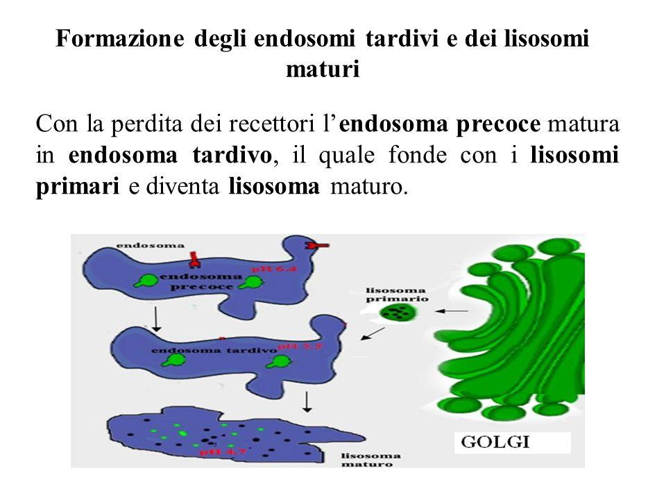 Formazione degli endosomi tardivi e dei lisosomi maturi
